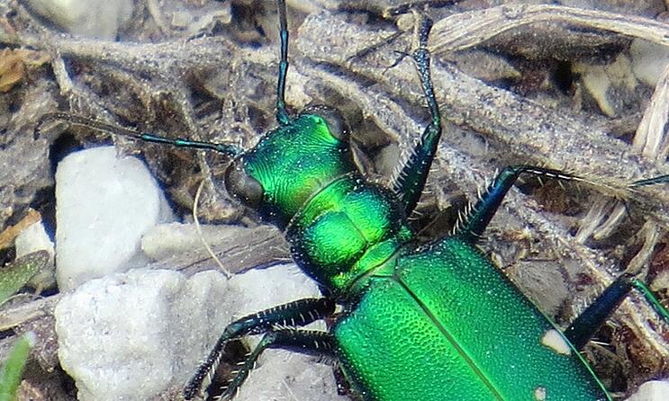 6-spotted-tiger-beetle.jpg