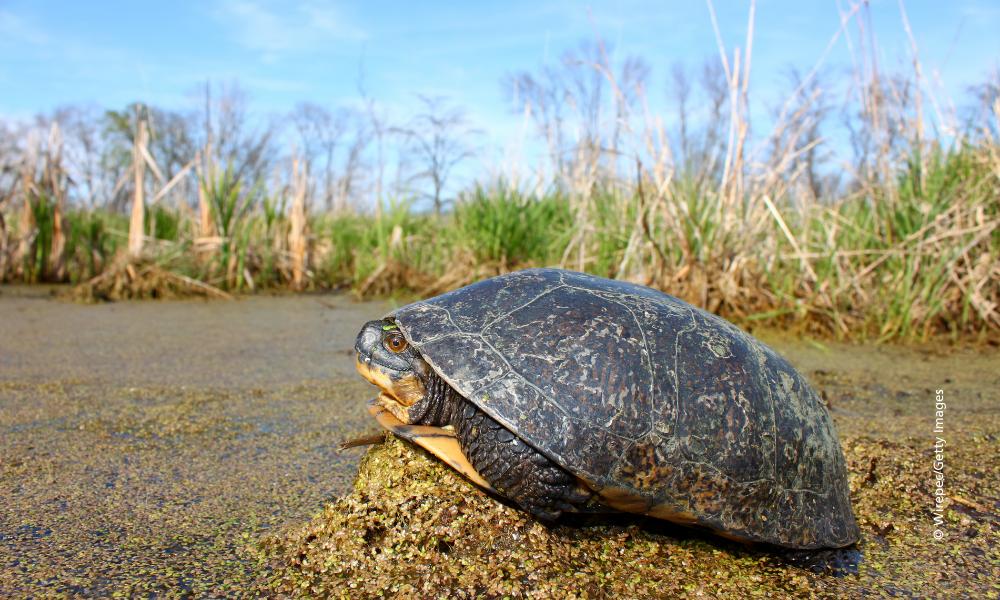 Blanding-turtle-in-wetland-©-Wirepec-Getty- Images