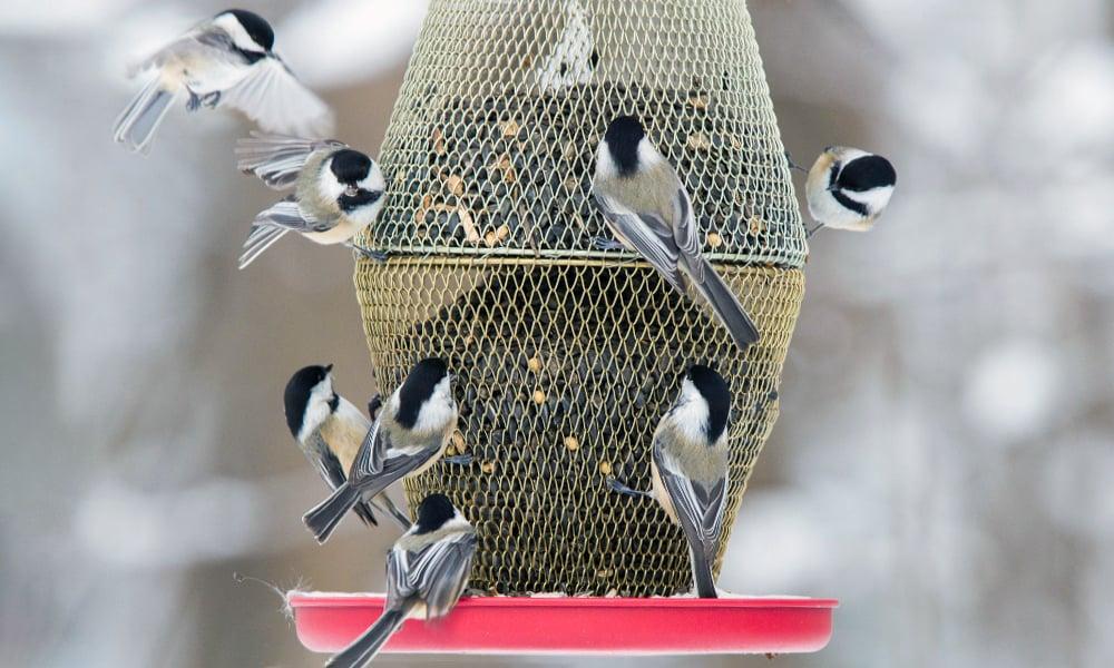 black-capped-chickadees-on-red-bird-feeder