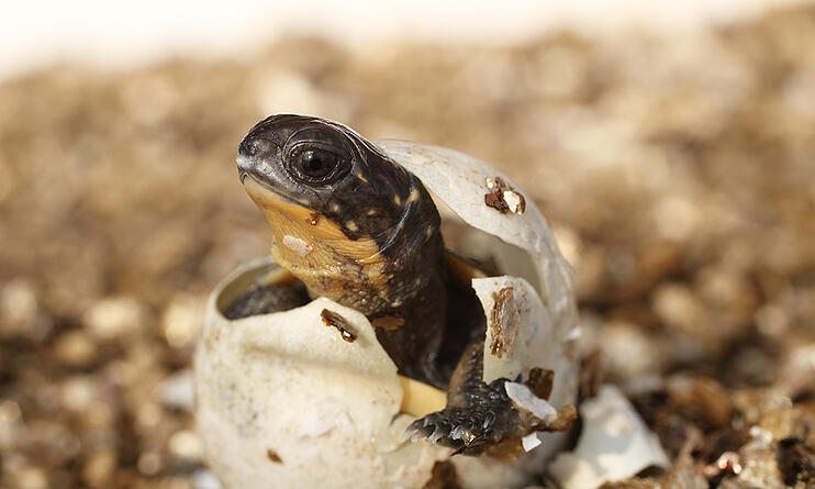 blandings-turtle-hatches-from-egg
