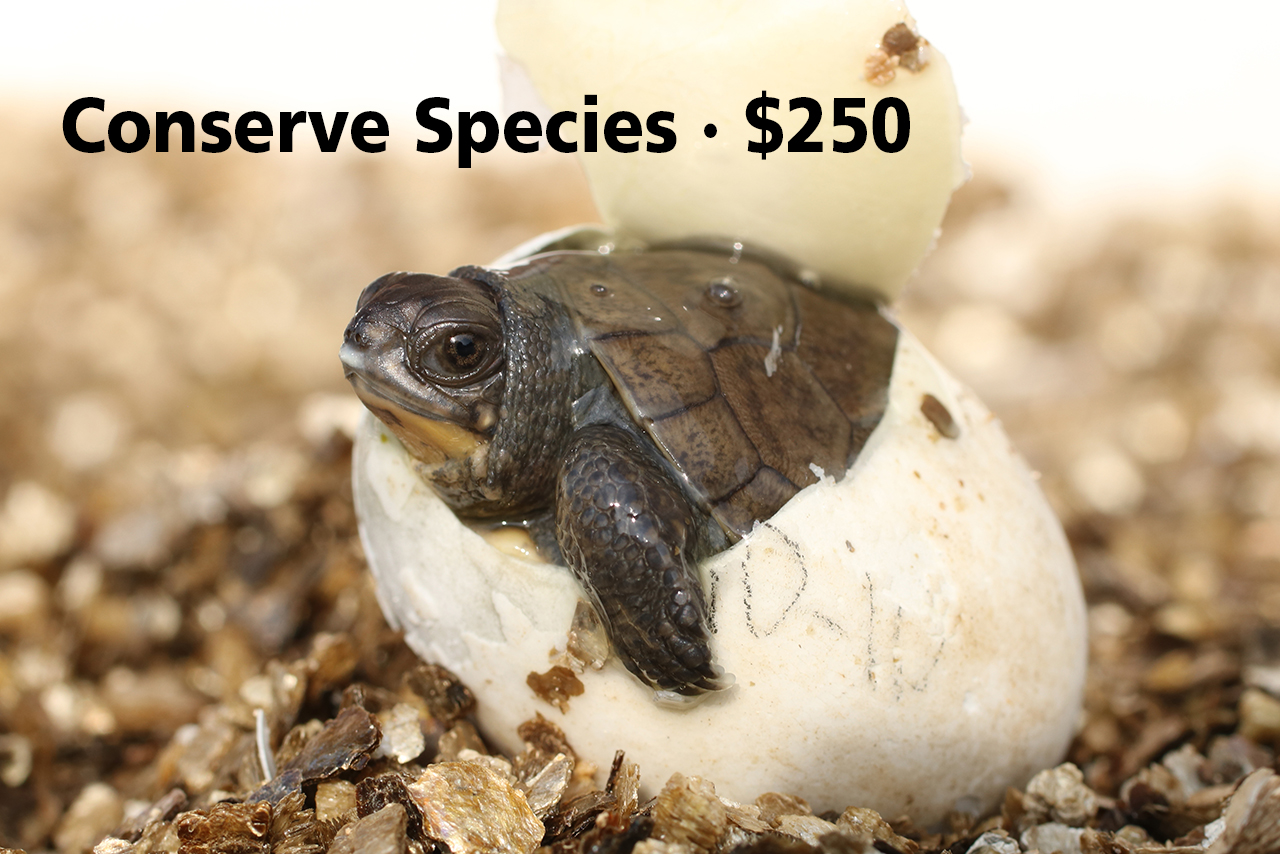 donate-blandings-turtle-hatchling-2