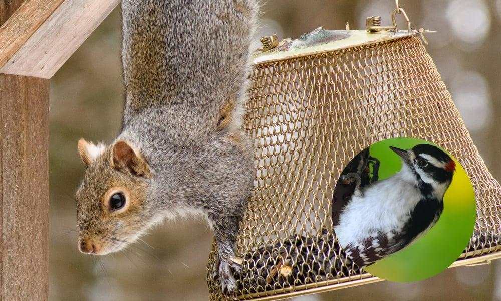 fox-squirrel-on-bird-feeder-woodpecker-suet-feeder