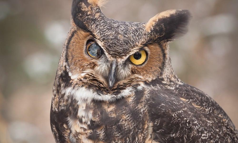 great-horned-owl-andre-1000