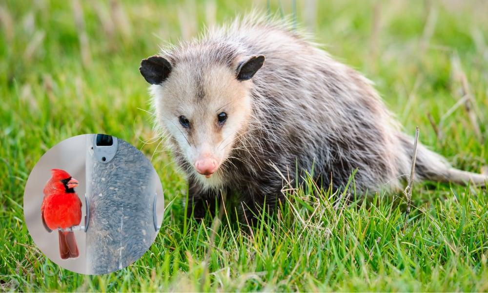 opossum-northern-cardinal-bird-feeder