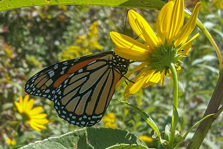 2018-09-12 Monarch-768x512