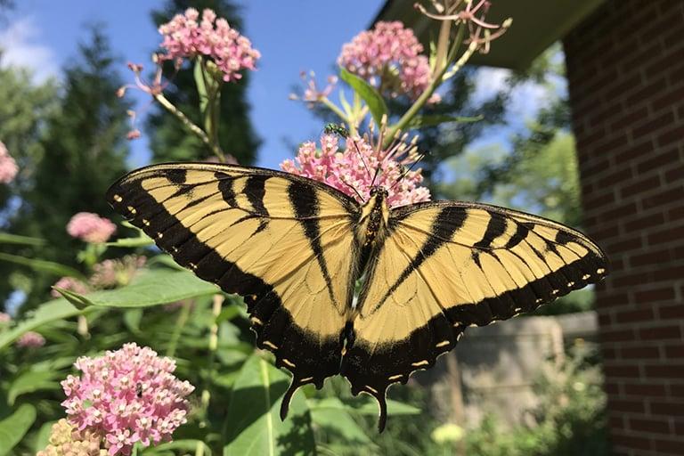 Dean-eastern-tiger-swallowtail-swamp-milkweed-768x512