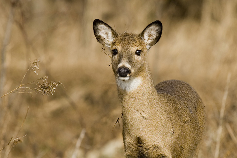 White-tailed-deer-home-feature