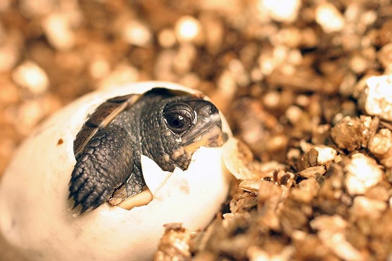 blandings-hatchling-shell