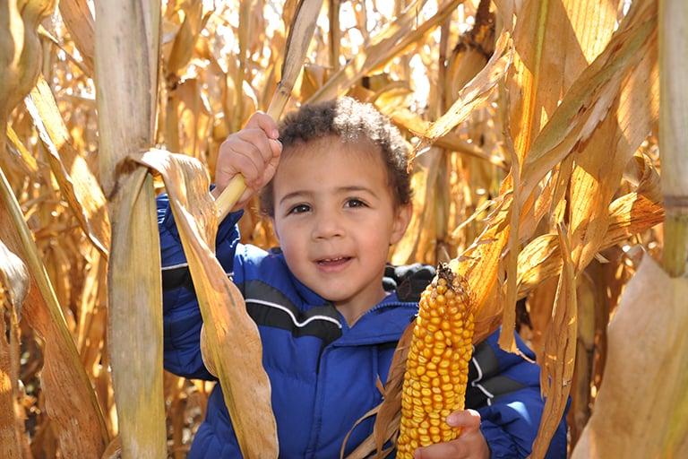 corn-harvest-768x512