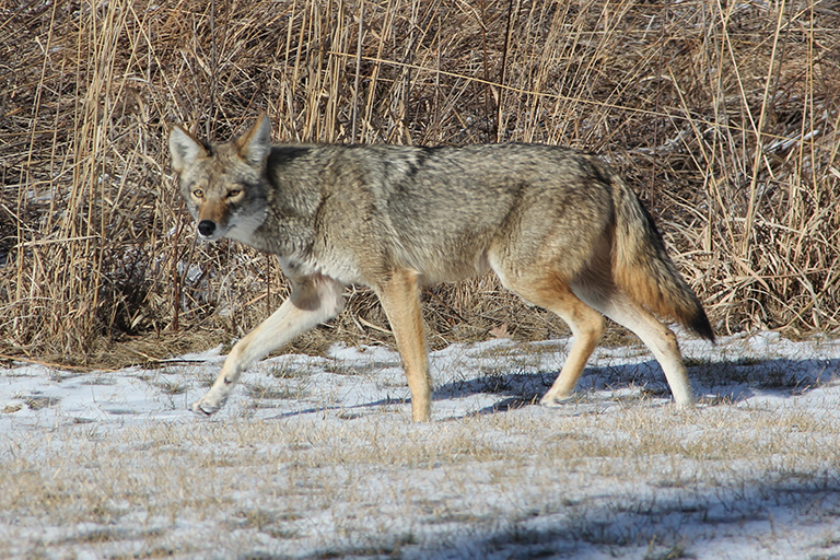 coyote-home-feature
