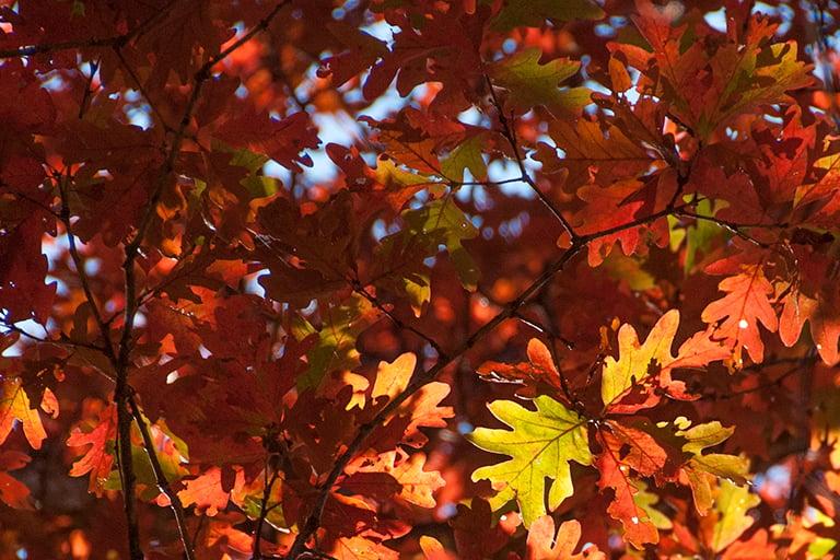 fall-oak-768x512