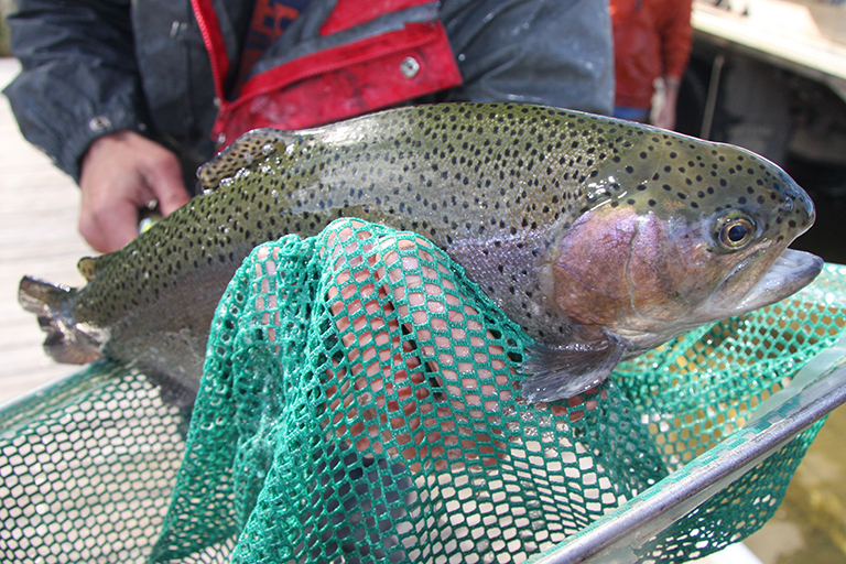 trout-stocking-feature