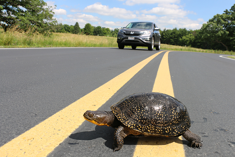 turtle-crossing-road-home-feature