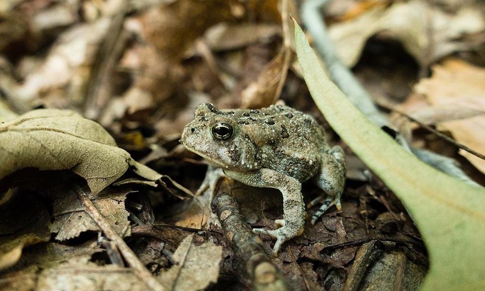 american-toad-WillParson