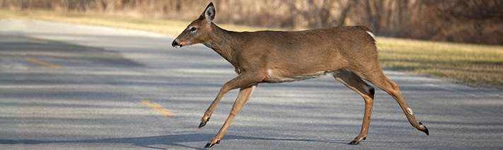 white-tailed-deer-iStockcommandj98-1