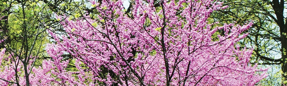 redbud tree with pink blooms