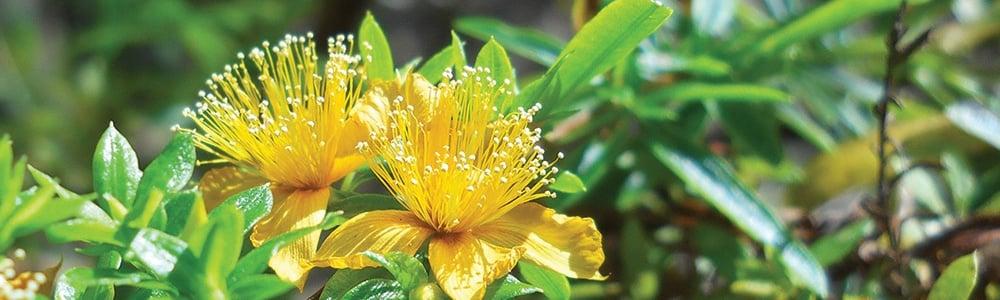 yellow flowers of shrubby St. John's wort