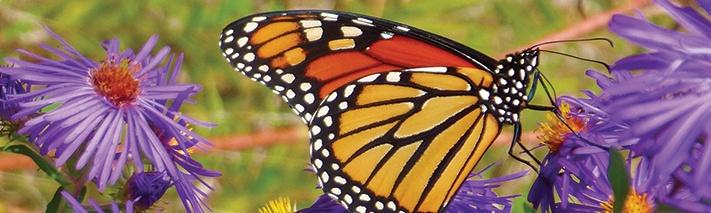 monarch-aster