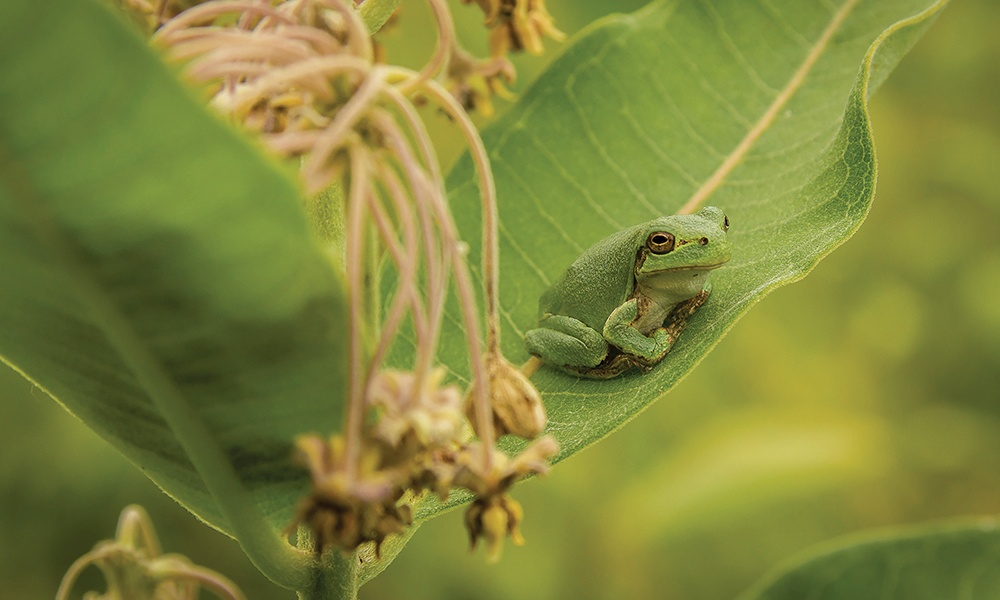 tree-frog-milkweed-BrettWhaley