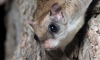 closeup of a southern flying squirrel