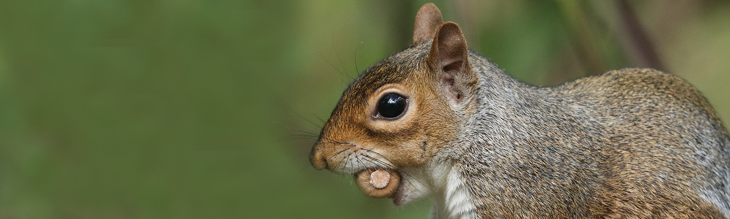 gray squirrel with an acorn in its mouth