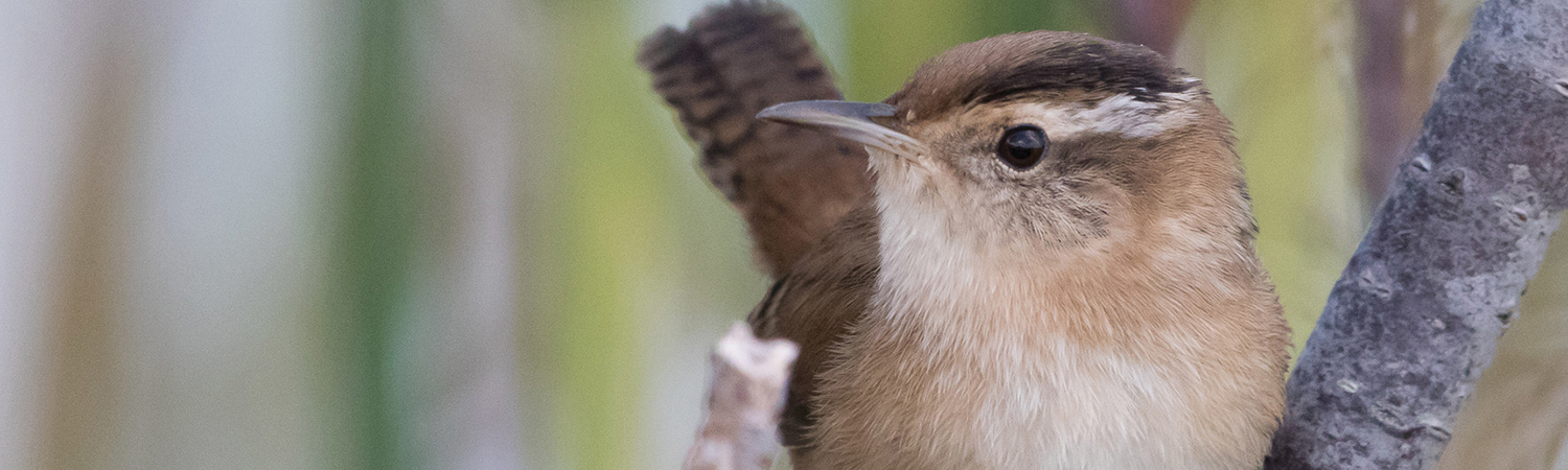 close up of marsh wren