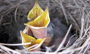 hatchling-birds-news-notes-spring-conservationist
