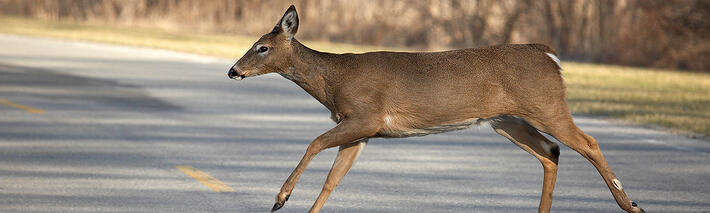 white-tailed-deer-crossing