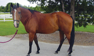 the horse Cody at Danada Equestrian Center in his lighter summer coat
