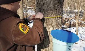 a naturalist tying a sap collection bucket to a maple tree in winter