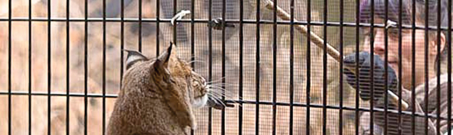 a Willowbrook Wildlife Center employee words with the center's bobcat