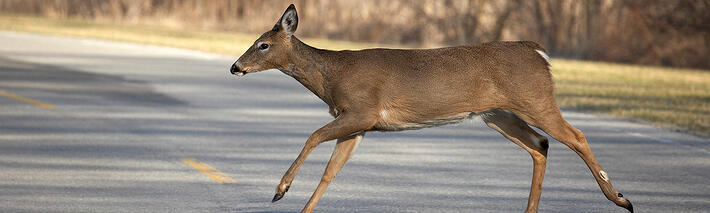 white-tailed deer crossing the road