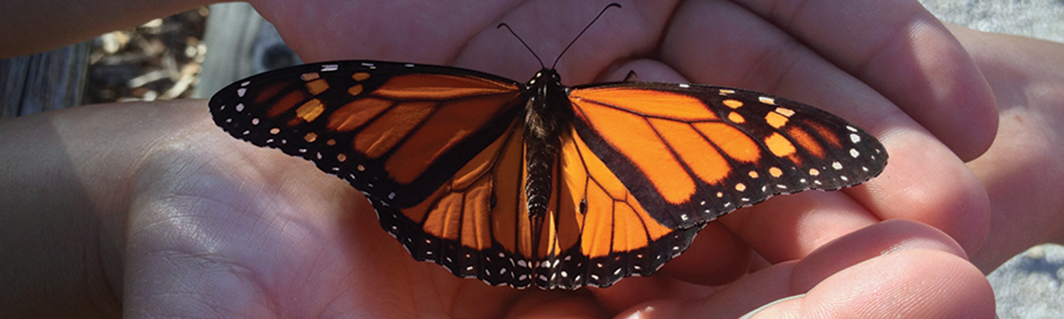 Monarch butterfly in the hands of a child