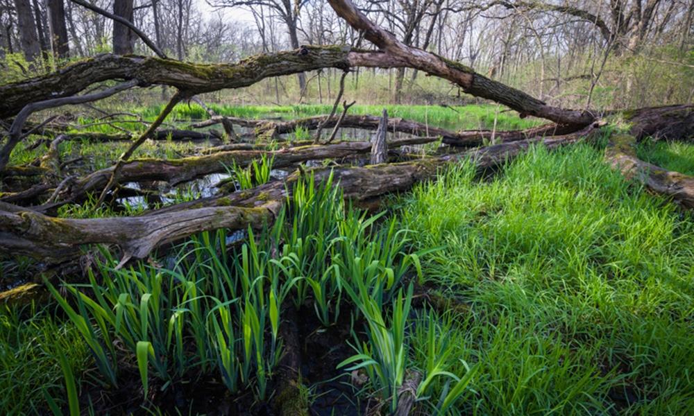 big-woods-ephemeral-pond-felled-tree-MarkBaldwin