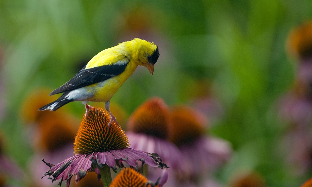 Blackwell-American-goldfinch