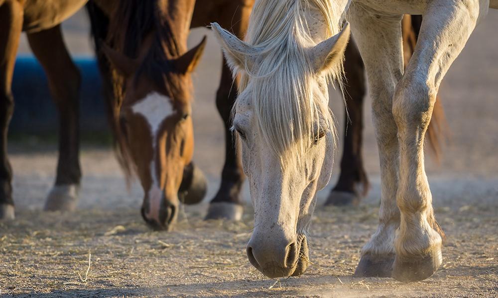 Danada-horses