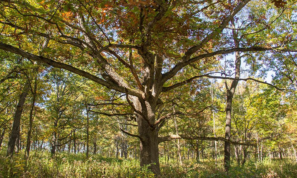 GV-fall-oaks-1000x600-1
