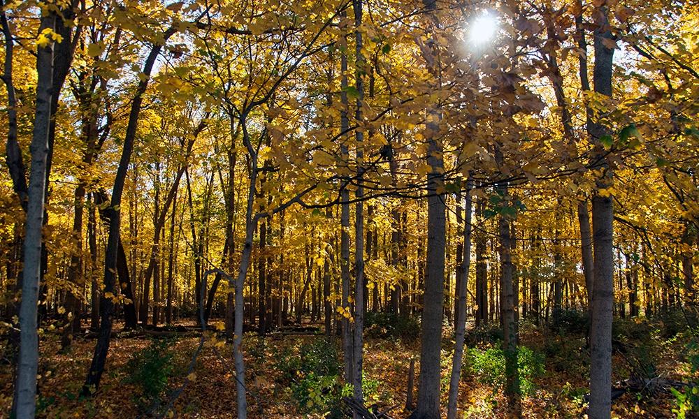 McDowell-Grove-fall-maples-1000x600