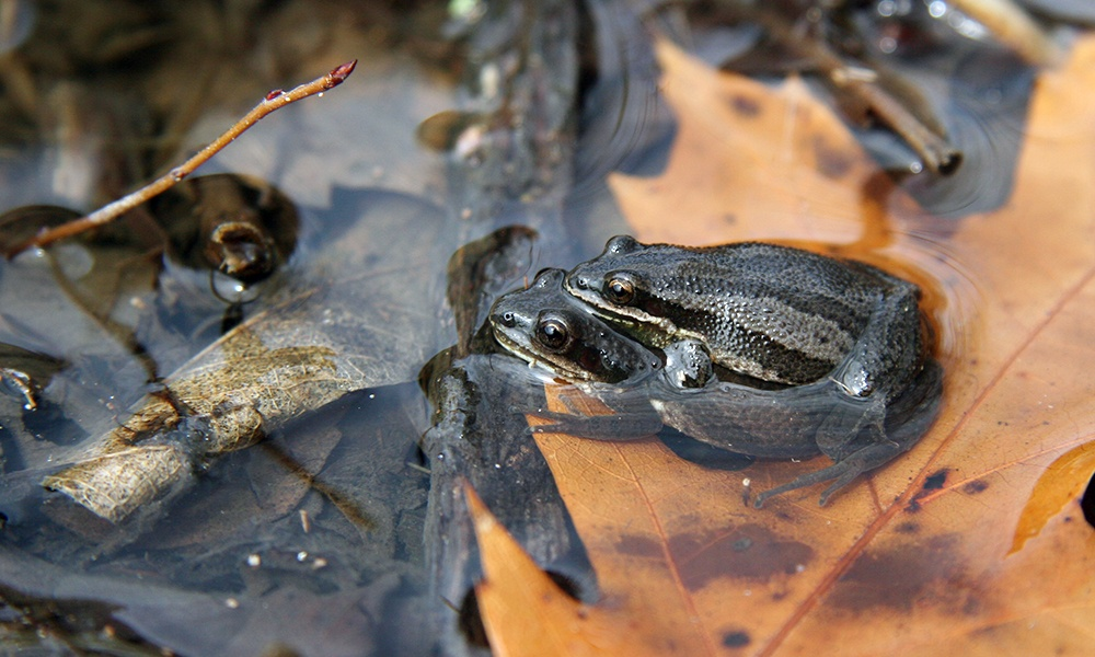 western-chorus-frog