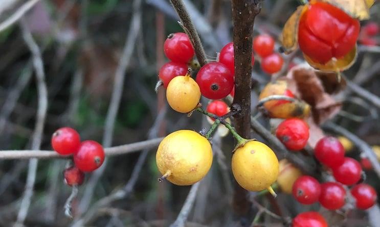 PWW-berries.jpg