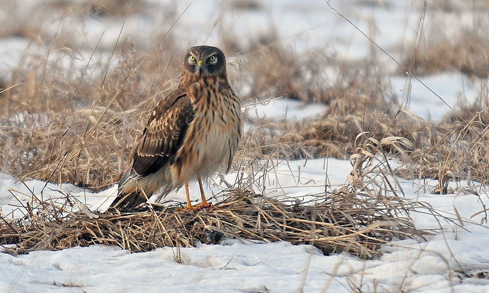 northern-harrier-springbrook-prairie-DavidDavis