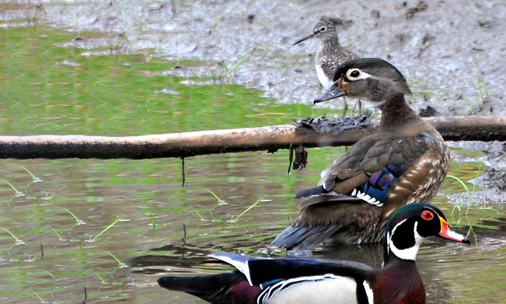 wood-ducks-plover-salt-creek
