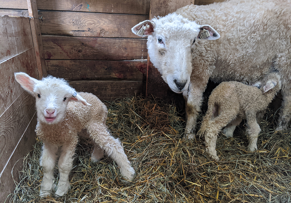 cotswold-mom-lambs