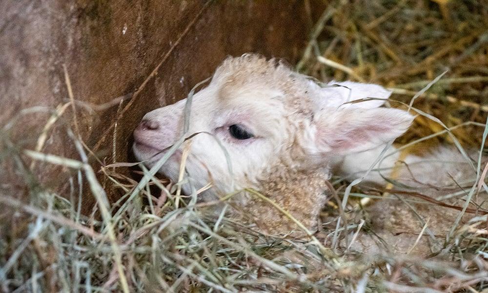 lamb-head