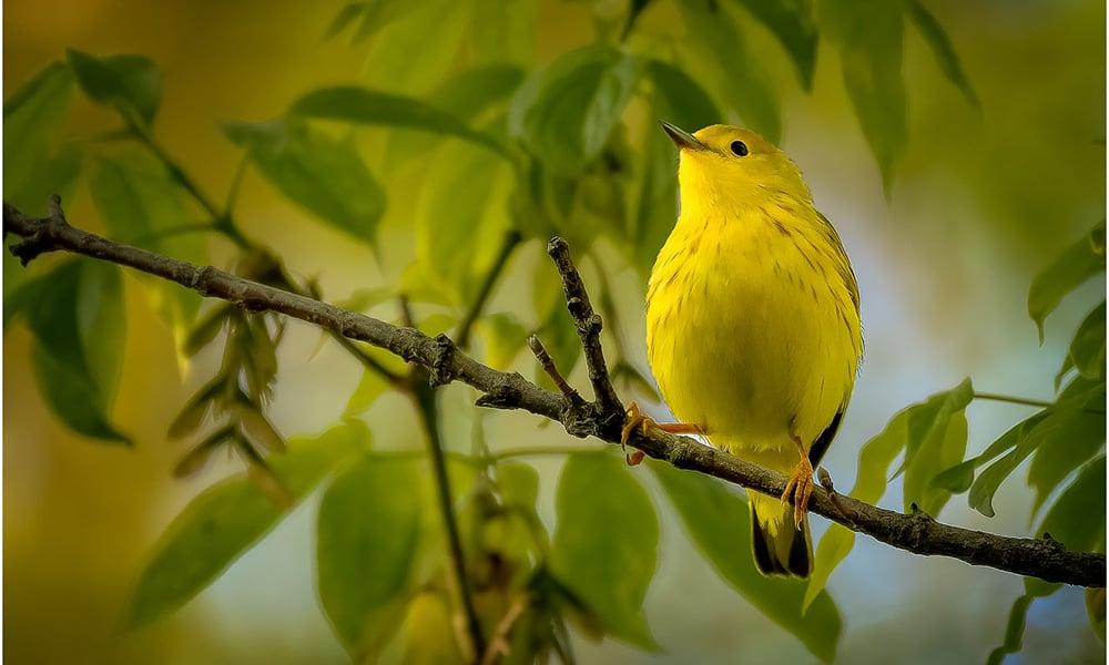 10-yellow-warbler-steve-ornberg-1