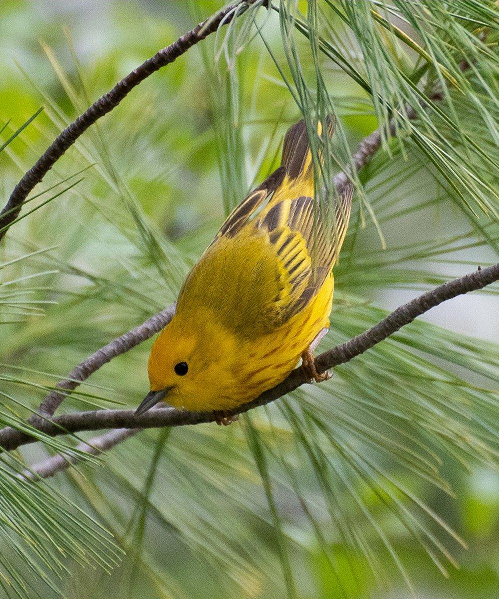 8-yellow-warbler-ready-to-go-Christine-Dewey