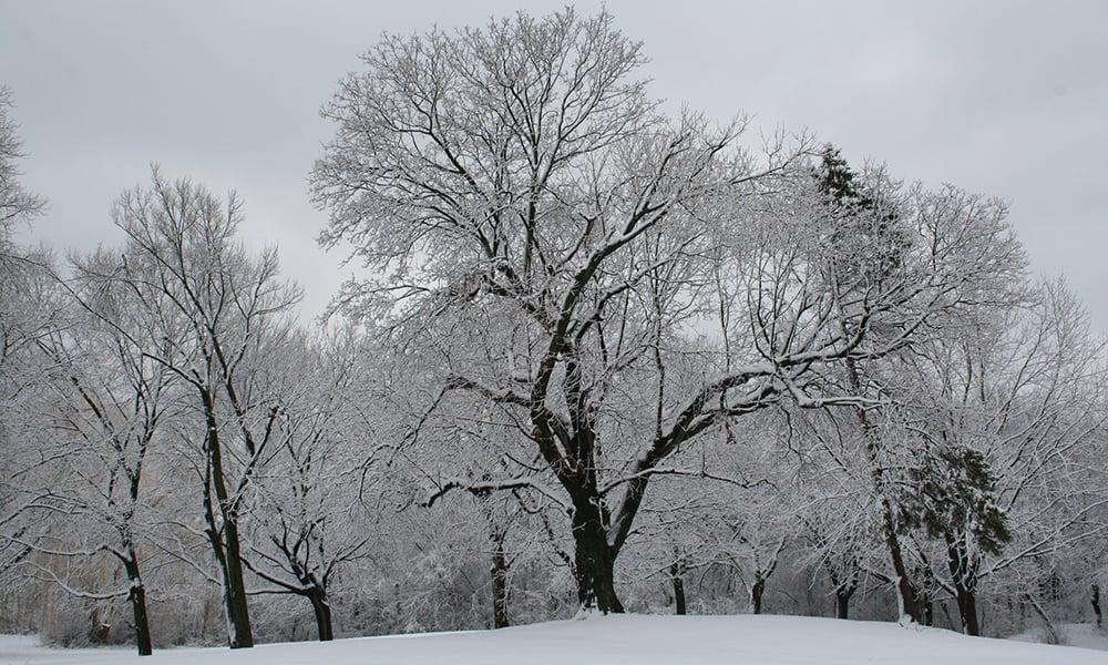 mayslake-tree-winter-1000x600