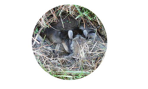 baby-cottontail-circle-edited