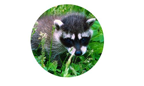 baby-raccoon-circle-edited