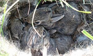eastern-cottontail-nest-ForestPreserveDistrictDuPageCounty-feature